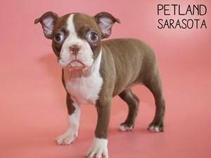 Boston-Terrier-DOG-Female-2824384