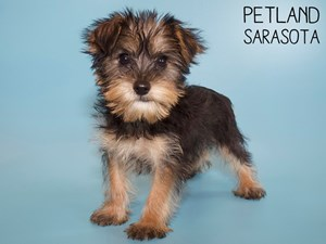 Yorkshire-Terrier-DOG-Male-2805559