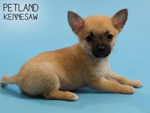 Chihuahua-DOG-Male-2828777