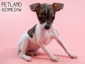 Chihuahua-DOG-Female-2828711