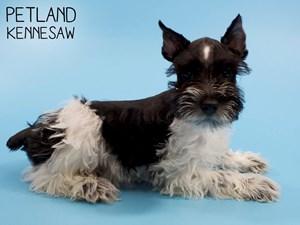Miniature-Schnauzer-DOG-Male-2828679