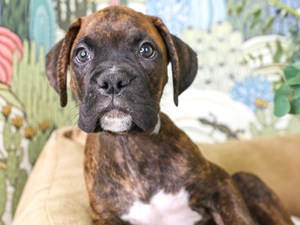 Boxer-DOG-Male--