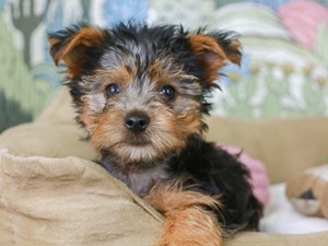 Yorkshire Terrier-DOG-Male-Black and Gold-2830455
