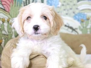 Cavachon-DOG-Male-RED/WHITE-