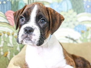 Boxer-DOG-Male--2834335