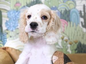 Cocker Spaniel-DOG-Male-Buff and White-