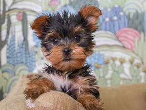 Yorkshire Terrier-DOG-Male-Black and Tan-2830395