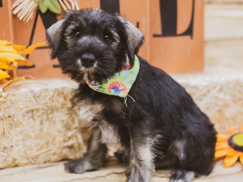 Miniature Schnauzer-DOG-Male-Salt & Pepper-2833790