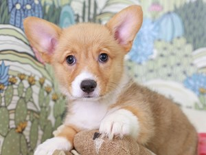 Pembroke Welsh Corgi-DOG-Female-RED/WHITE-