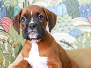 Boxer-DOG-Male--