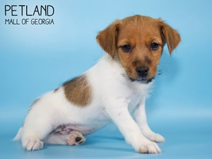 Jack-Russell-Terrier-DOG-Male-2835692
