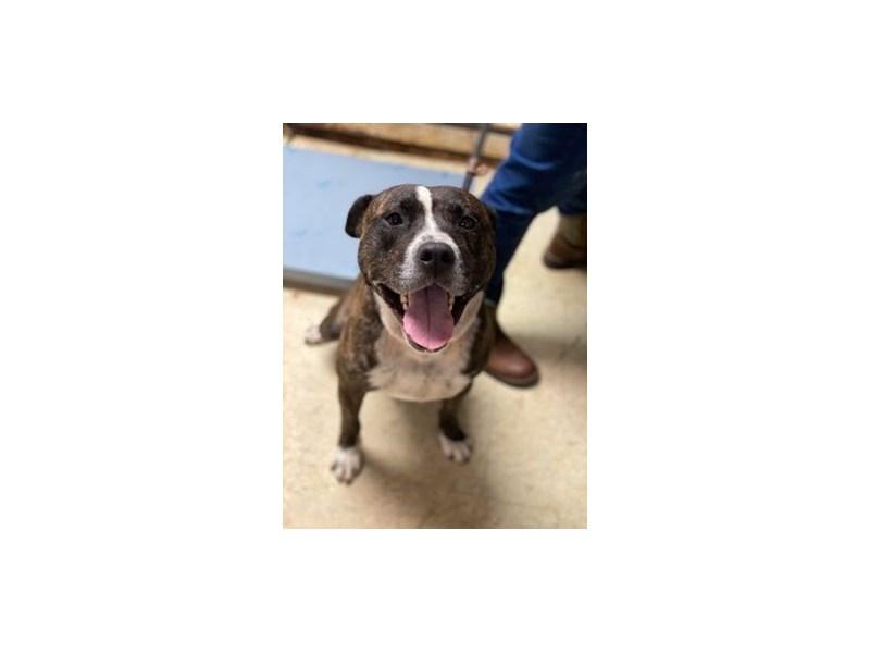 Pit Bull-DOG-Male-Brindle, White-2835270