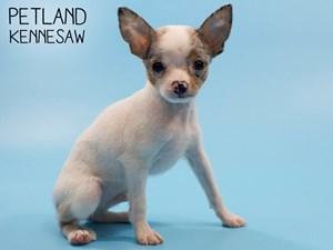 Chihuahua-DOG-Male-2833085