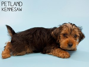 Yorkshire-Terrier-DOG-Male-2833096