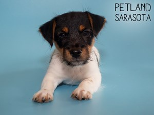 Jack-Russell-Terrier-DOG-Male-2836048