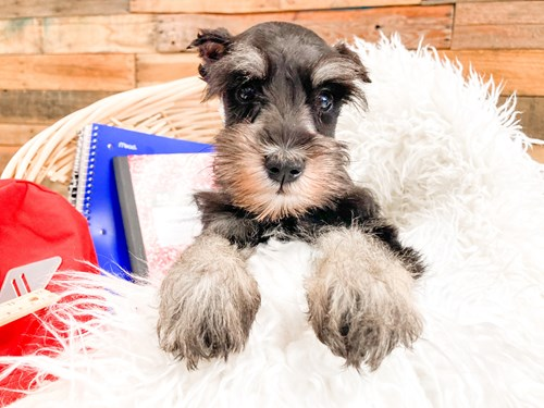 Grand Rapids Miniature Schnauzer Dog Adoption Grand Rapids, MI