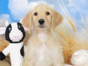 Mini Labradoodle-DOG-Female-Yellow-