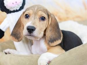 Beagle-DOG-Female--