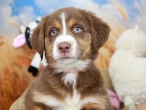 Australian Shepherd-DOG-Female--