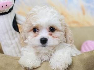Cavachon-DOG-Female--