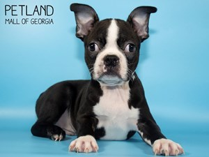 Boston-Terrier-DOG-Male-2824379