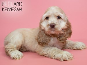 Cocker-Spaniel-DOG-Female-2839098
