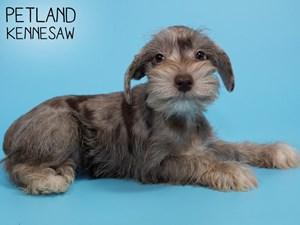 Miniature-Schnauzer-DOG-Male-2833007