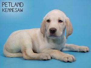 Labrador-Retriever-DOG-Male-2839017