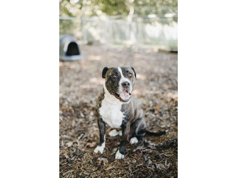 Pit Bull-DOG-Male-Brindle, White-2835270-img2