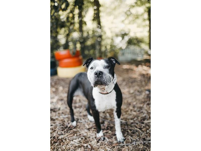 American Pit Bull Terrier-DOG-Female-Black,White-2844518-img2