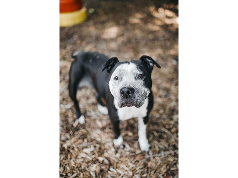 American Pit Bull Terrier-DOG-Female-Black,White-2844518-img3