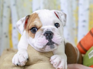 English Bulldog-DOG-Male-Red and White-2845002