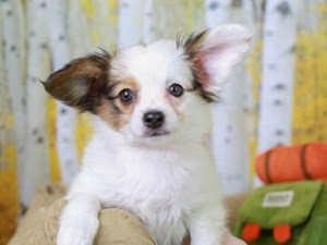 Papillon-DOG-Female-Sable and White-2844954