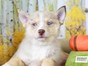 Pomsky-DOG-Female-CHOCOLATE MERLE/TAN-