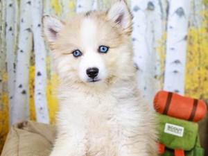 Pomsky-DOG-Female-GRAY-