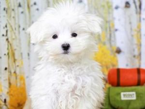Maltese-DOG-Male--
