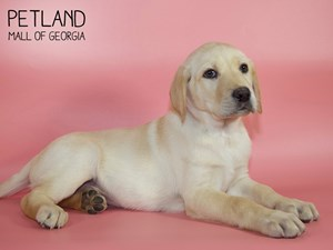Labrador-Retriever-DOG-Female-2850733