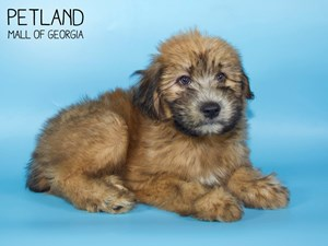 Soft-Coated-Wheaten-Terrier-DOG-Male-2850681