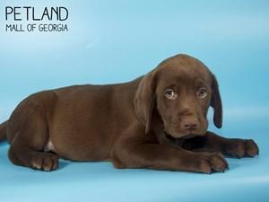 Labrador-Retriever-DOG-Male-2846578