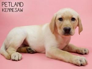 Labrador-Retriever-DOG-Female-2850725