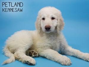 Goldendoodle-DOG-Male-2850651
