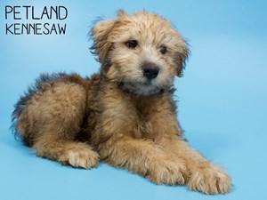 Soft-Coated-Wheaten-Terrier-DOG-Male-2850656