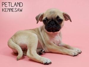 Pug-DOG-Female-2850663
