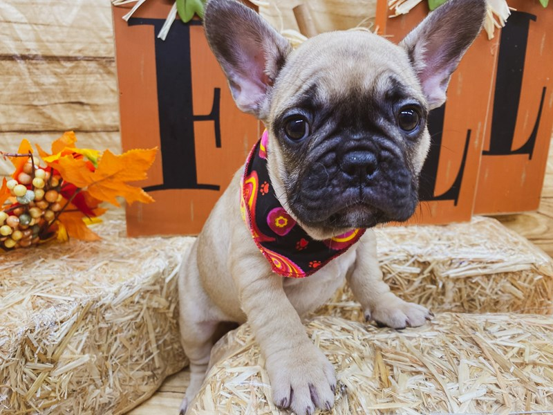 French Bulldog-DOG-Female-Fawn-2856673