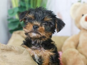Yorkshire Terrier-DOG-Female-Black and Tan-