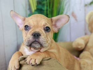 French Bulldog-DOG-Female--