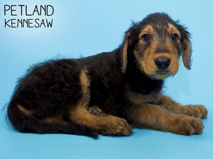 Airedale-Terrier-DOG-Male-2858183