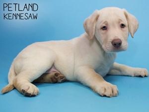 Labrador-Retriever-DOG-Male-2858154