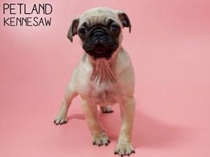 Pug-DOG-Female-2861404