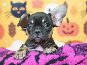 French Bulldog-DOG-Male--